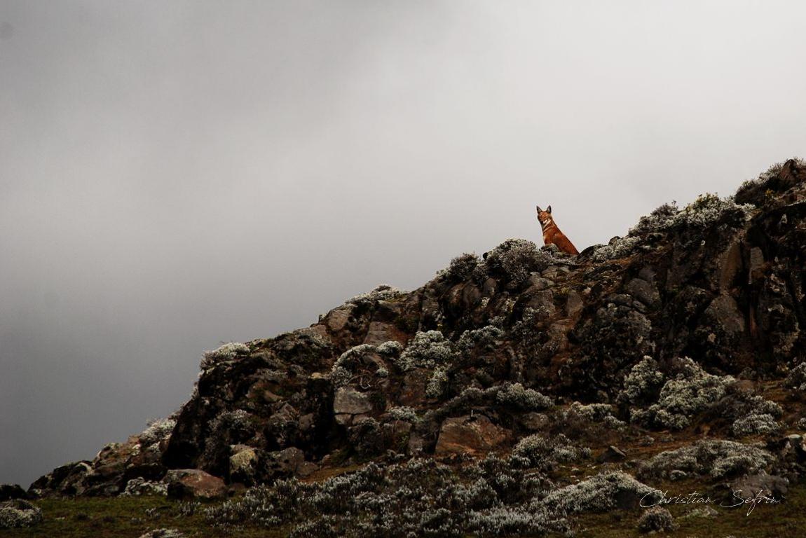 wolf äthiopien