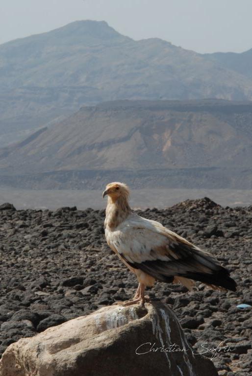 vogel danakil äthiopien