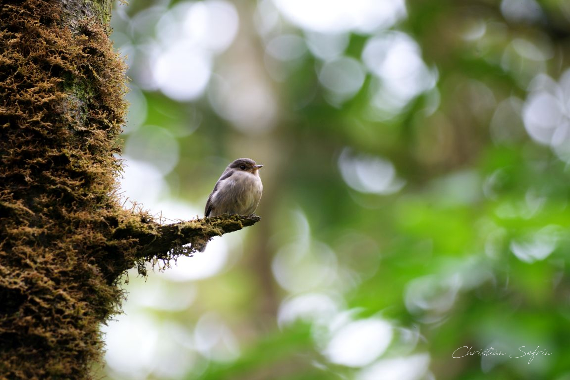birdwatching mount cameroon nationalpark