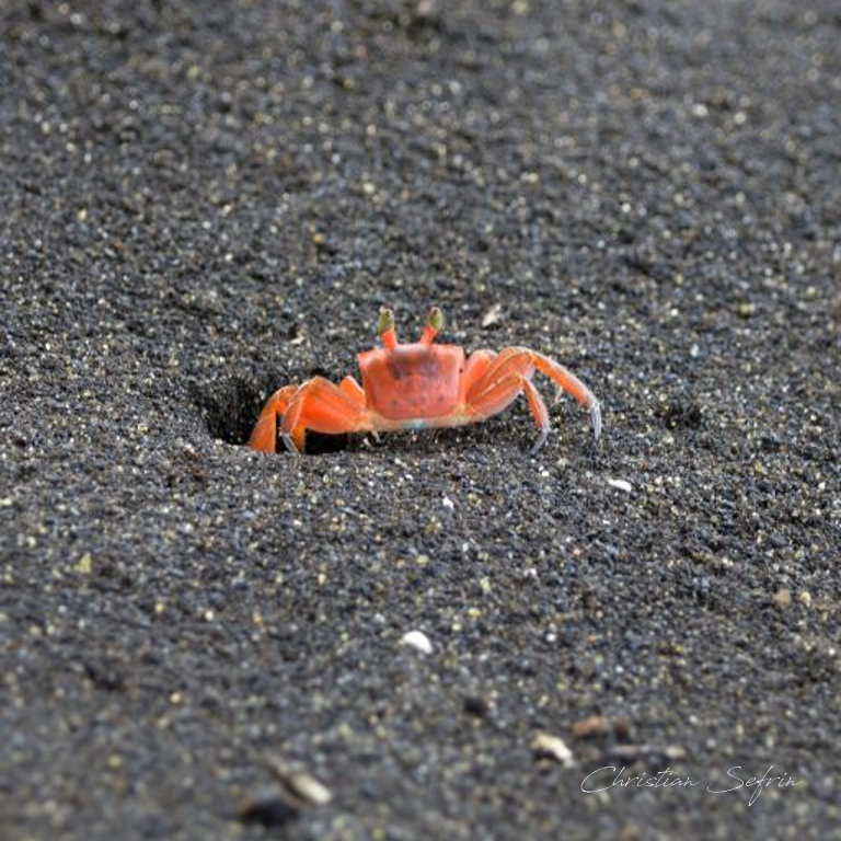 krabbe mount cameroon nationalpark