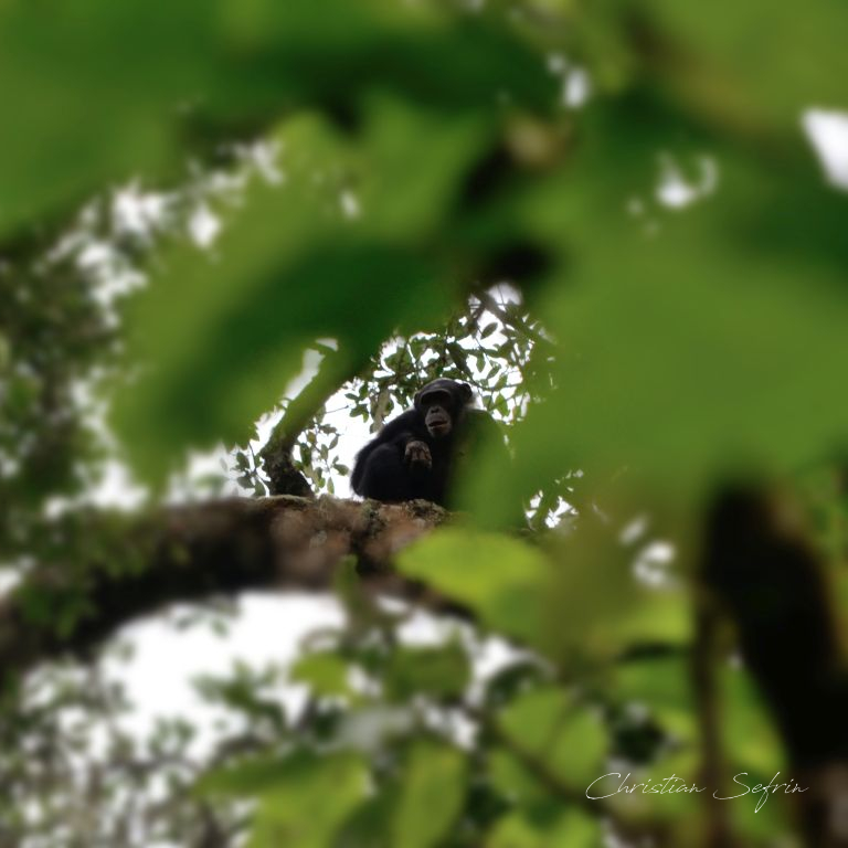 schimpanze mount cameroon nationalpark