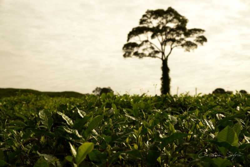 Tee mount cameroon nationalpark